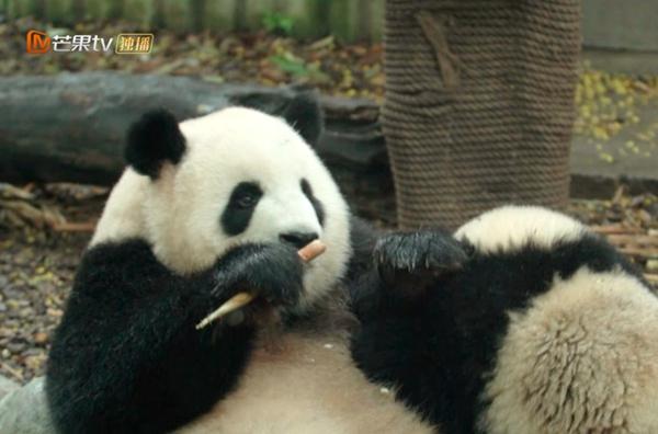 """国宝背后的""""熊猫人""""!《闪耀的平凡》走近熊猫保育""""天团"""""""